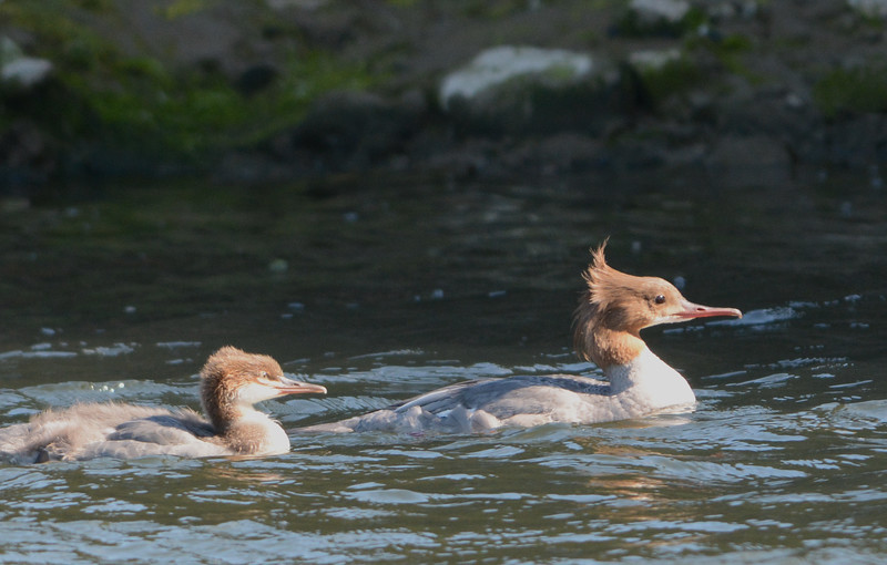Goosander female with one of eight chicks
