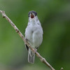 Eurasian blackcap male, singing