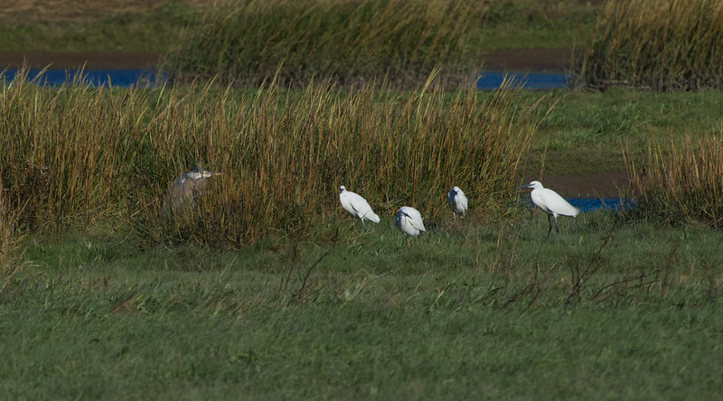 Little egrets with grey heron