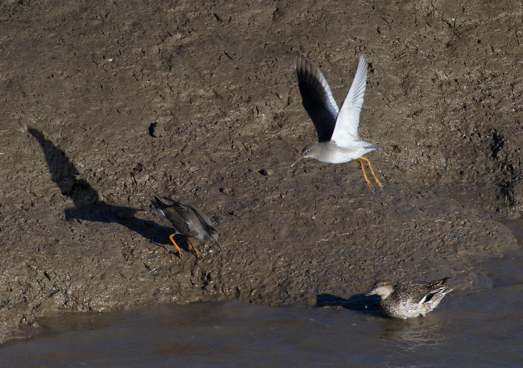 Common redshank with female Eurasian teal