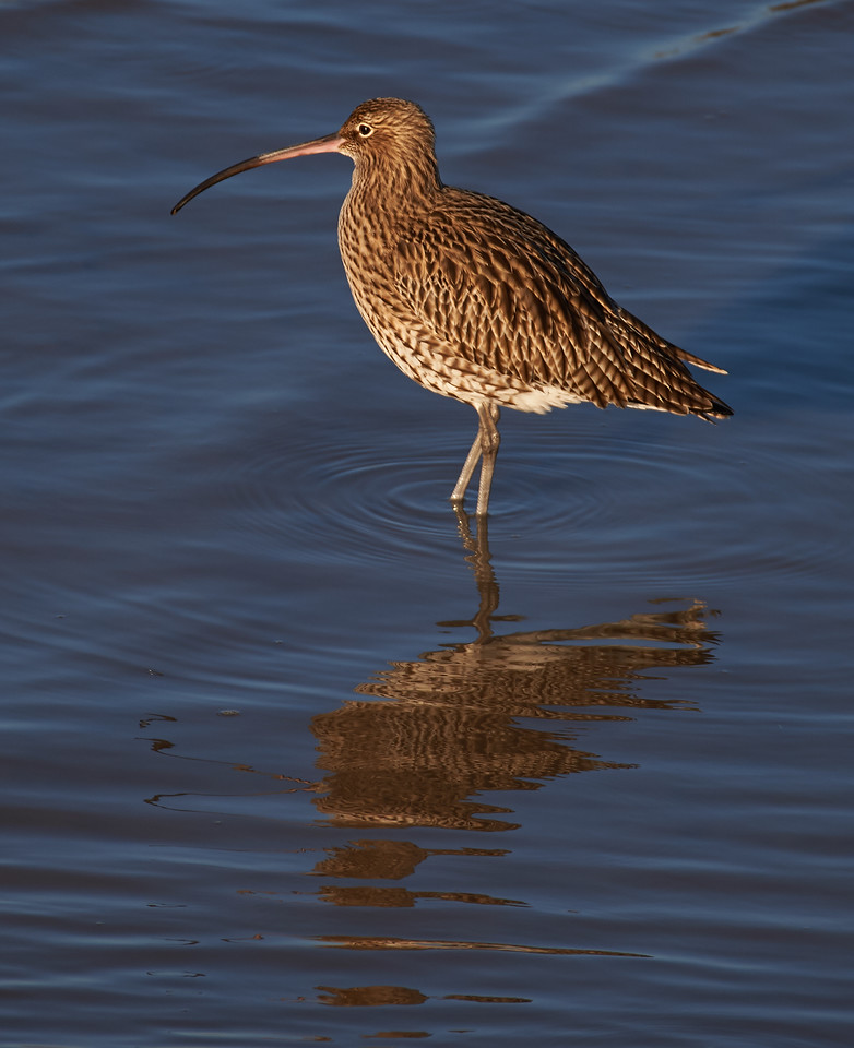 Eurasian curlew