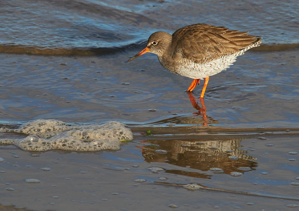 Common redshank on a cold bright day