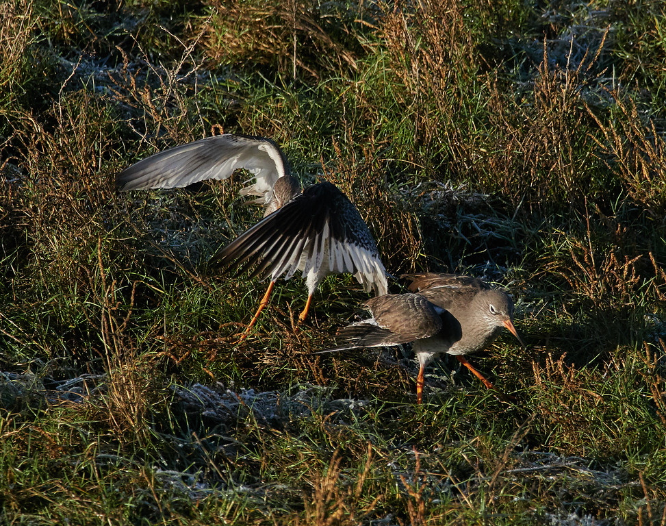 Fighting common redshank