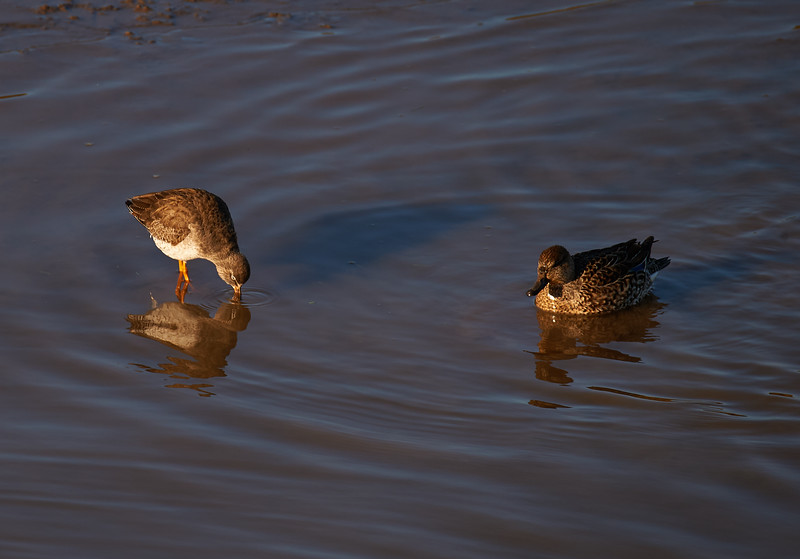 Common redshank and female teal