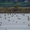 Goldfinch flock