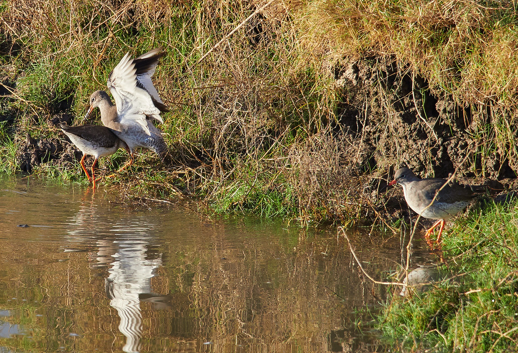 Fighting redshank with an on-looker