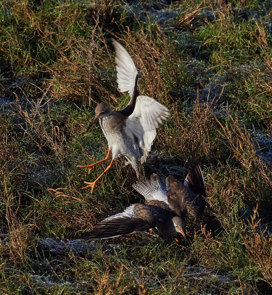 Common redshank fighting