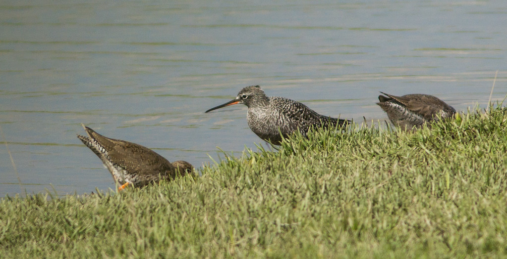 Spotted redshank flanked by common redshank