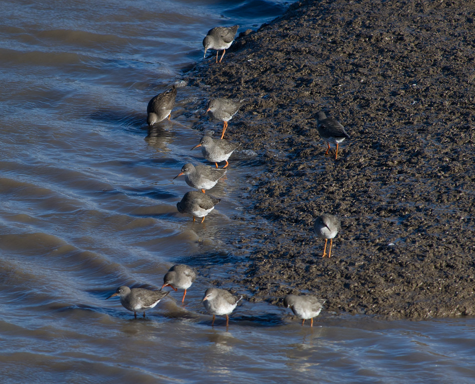 Common redshank group