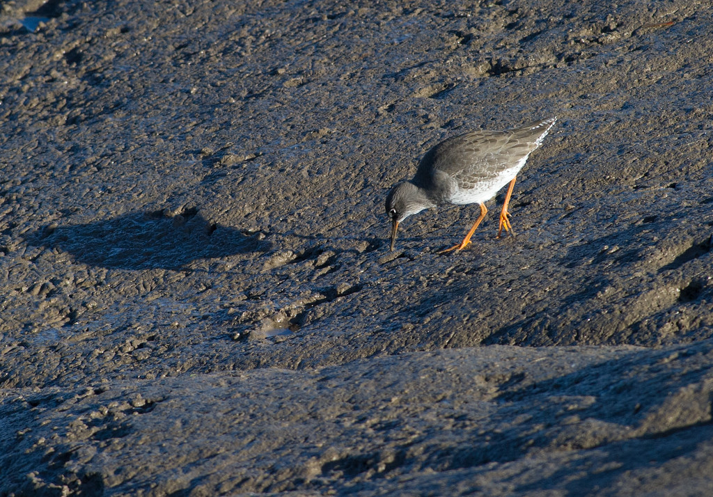Common redshank feeding