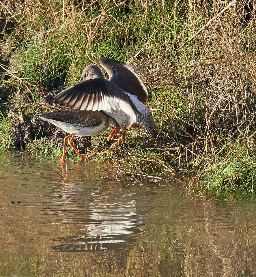 Fighting common redshank, going for the legs