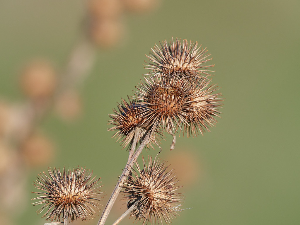 Thistle heads in winter