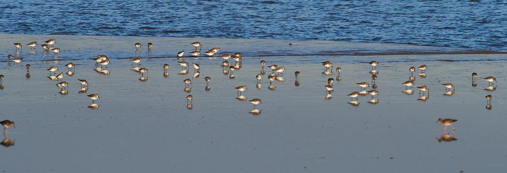 Dunlin on the shoreline