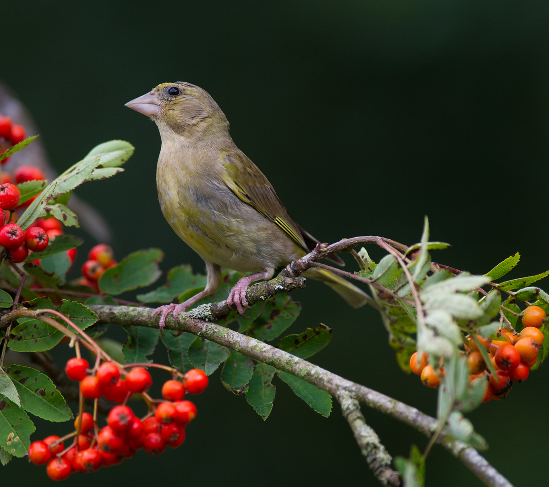 Greenfinch, male