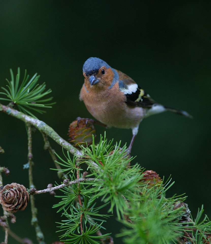 Chaffinch, adult male
