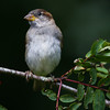 House sparrow, immature