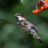 House sparrow, adult male