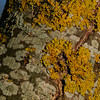 Lichen community on tree bark