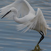 Little egret leaving