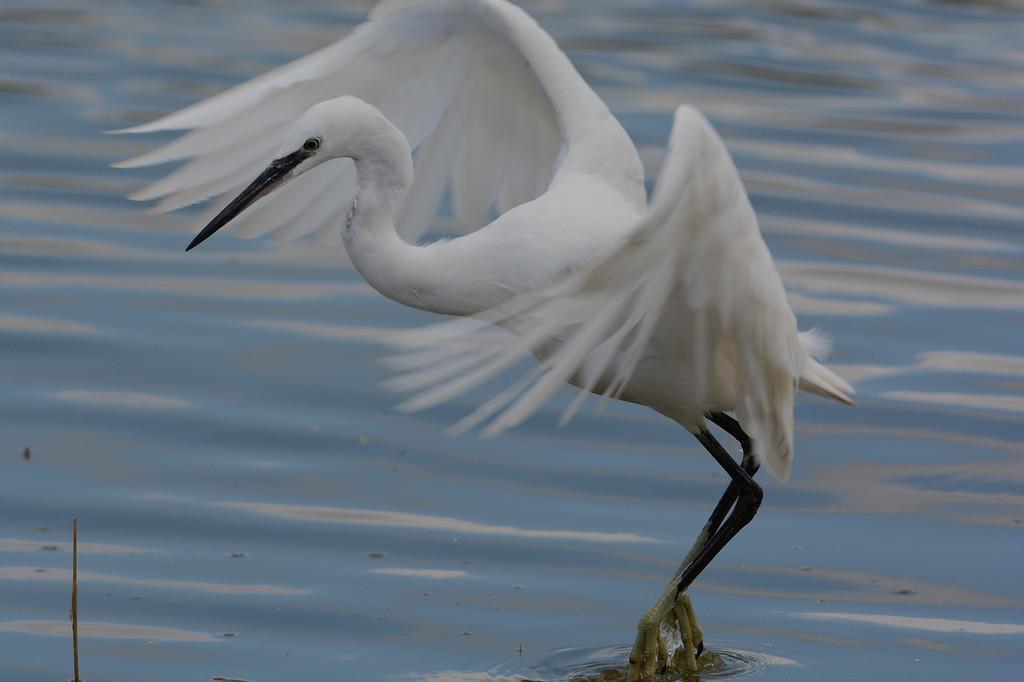 Little egret leaving
