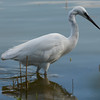 Little egret waiting for fish