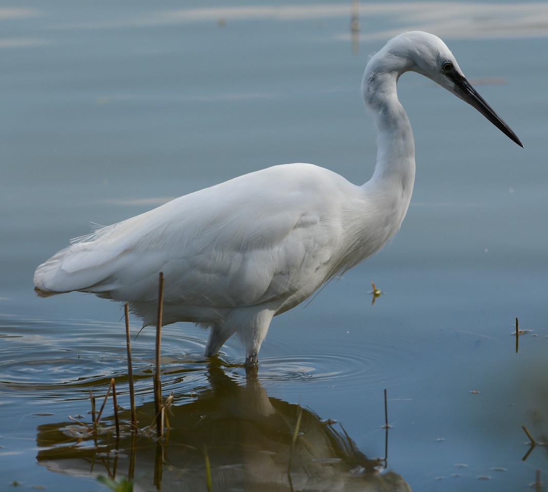 Little egret waiting for fish