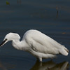 Little egret catches shrimp