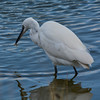 Little egret with shrimp cocktail