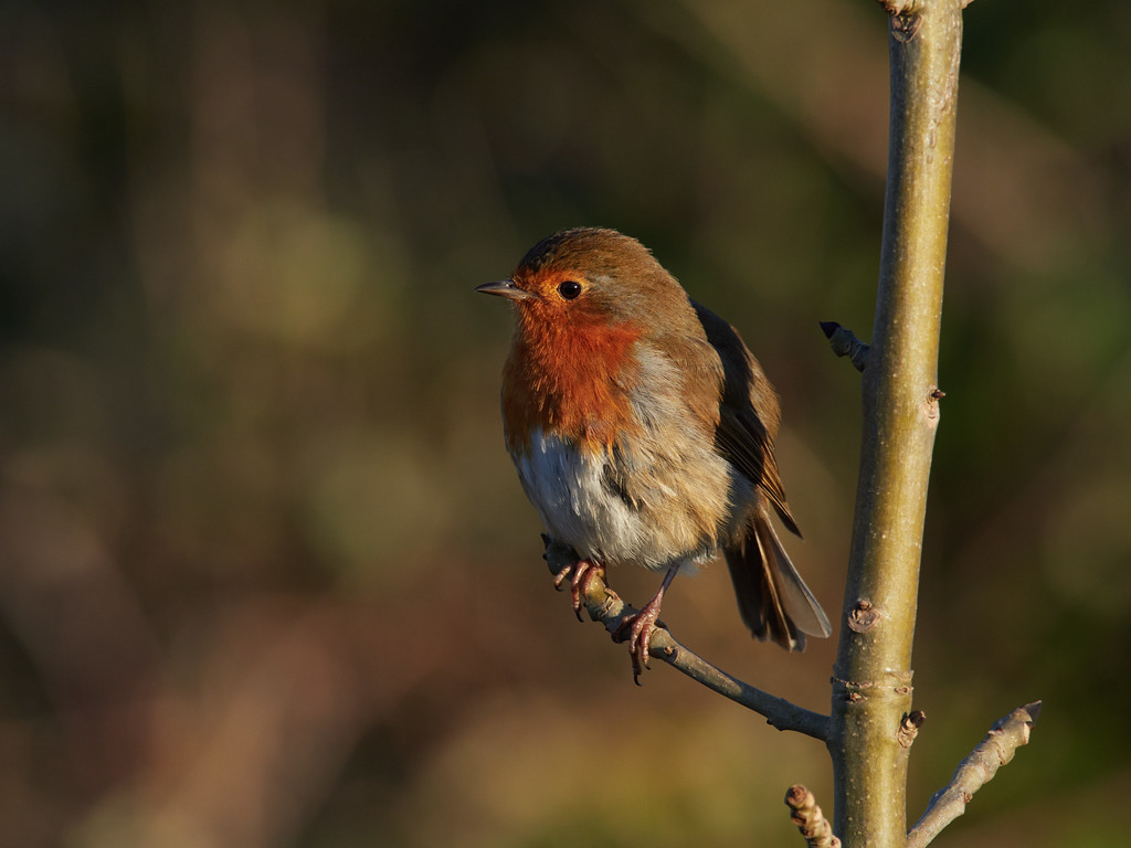 European robin waiting by path to be fed
