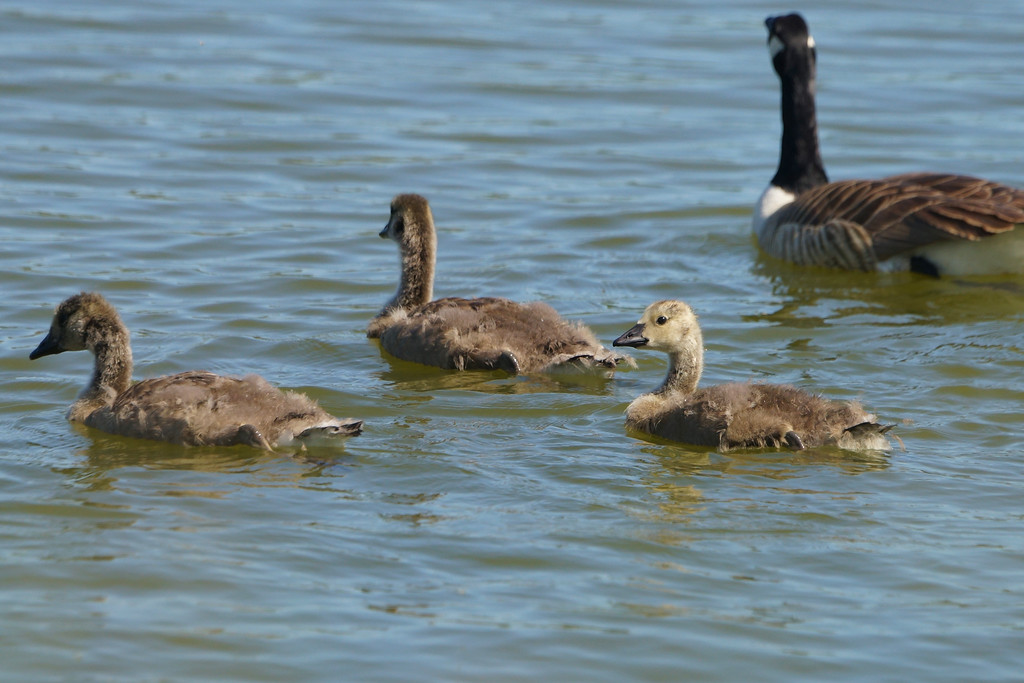 Canada gosling with family
