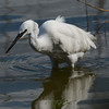 Little egret with appetiser