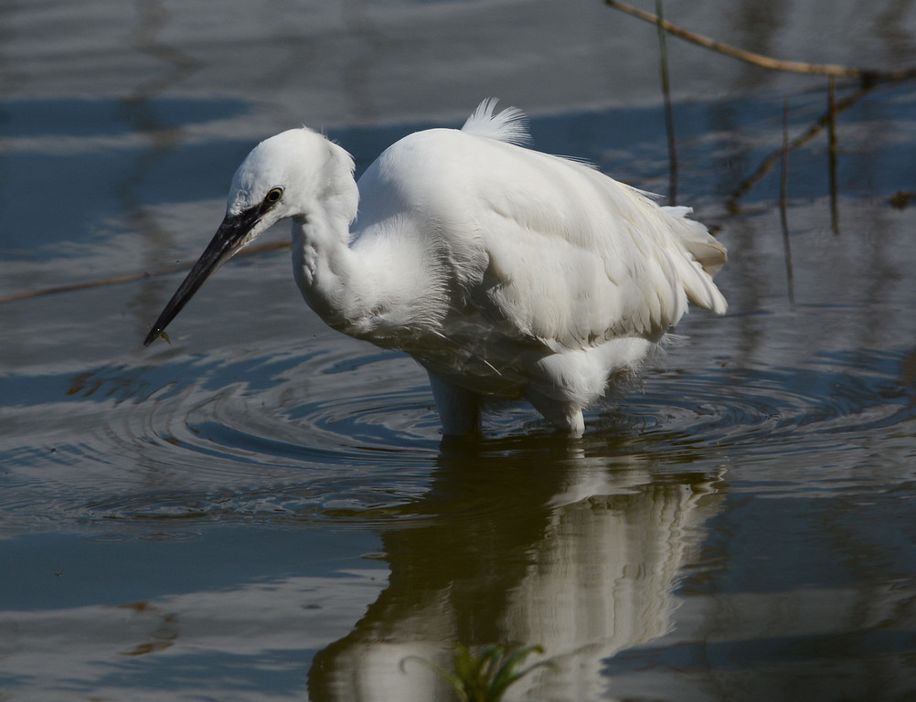 Little egret with appetiser