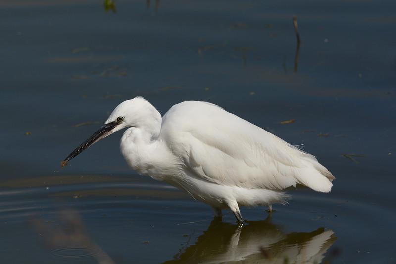 Little egret catches shrimp