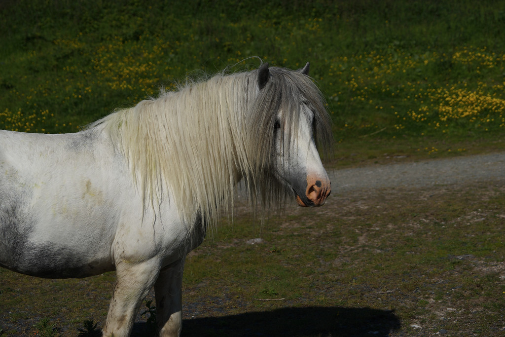 Welsh mountain pony at Conwy