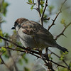 House sparrow, male