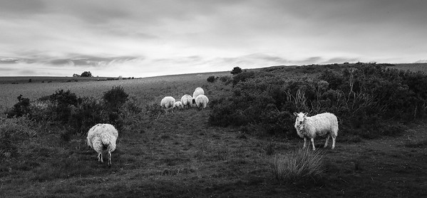 Sheep on the Beacons