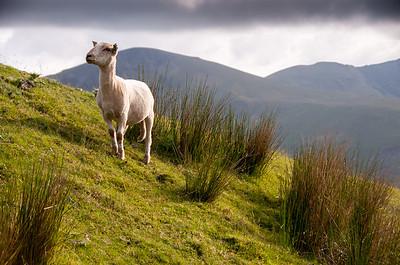 Snowdon sheep