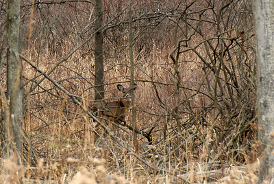 Deer in hiding