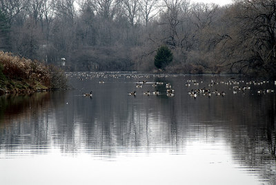 Branta Pond with Geese