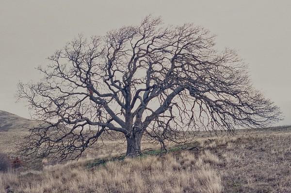 Oregon White Oak, Quercus garryana.