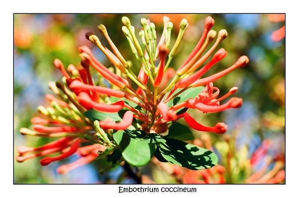 Embothrium coccineum