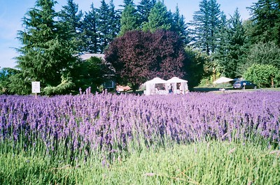 Columbia View Lavender Farm. Olympus XA. Fujicolor Industrial.