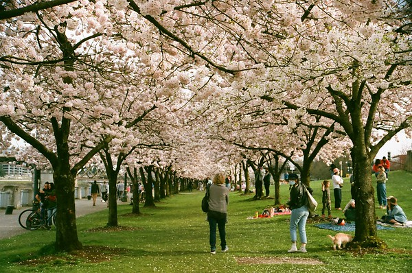 Portlandia Hanami | Pentax Super | Fujicolor X-TRA 400 | 2021/04/01