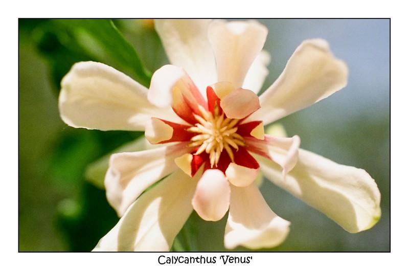 Calycanthus 'Venus'