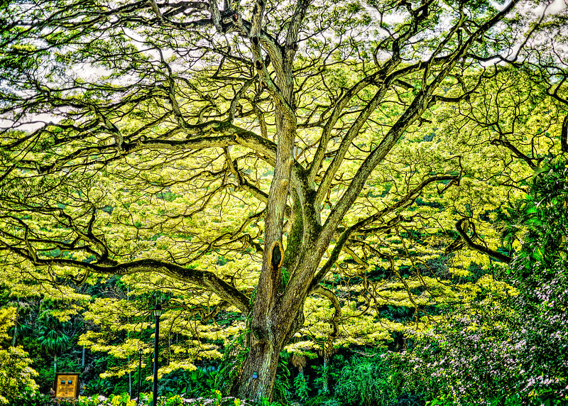 Great Tree at Waimea Falls