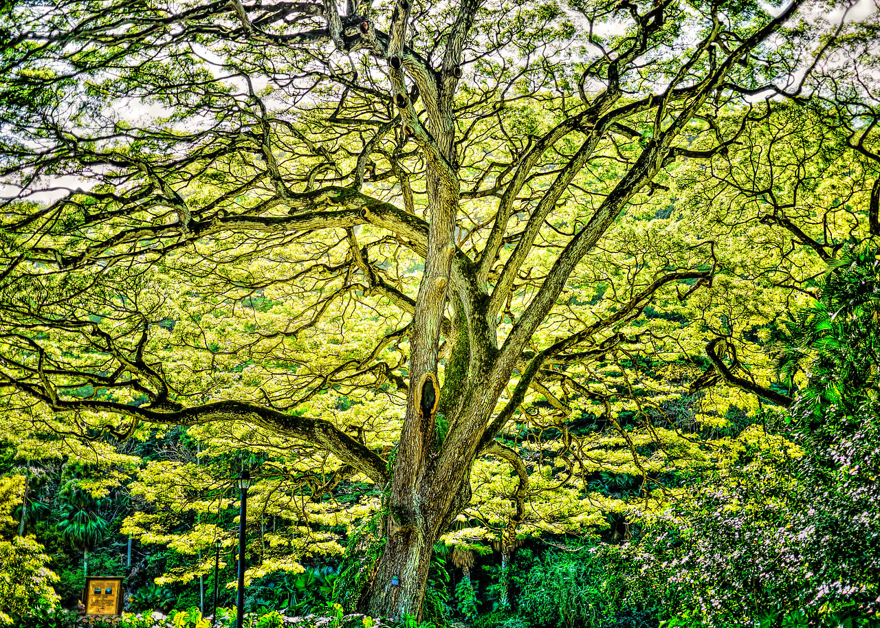 Great Tree at Waimea Falls