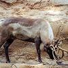 Reindeer Tossing Horns