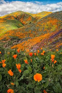 Walker Canyon Poppy 219