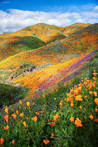 Walker Canyon Poppies