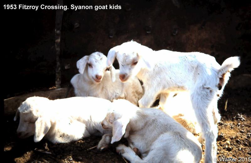 1953 Fitzroy Crossing. Syanon goat kids